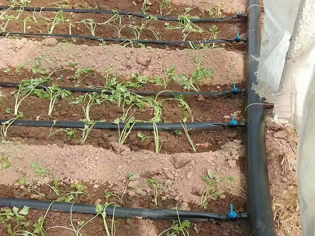 河北大棚蔬菜迷宫滴灌带应用案例