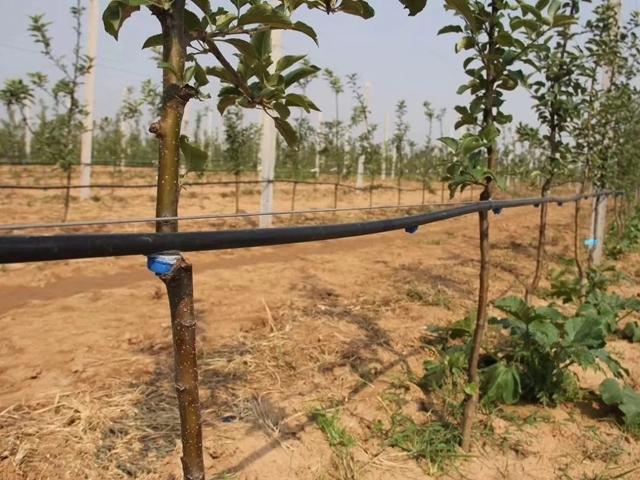 果树灌溉山西晋中枣树PE管加滴头案例展示