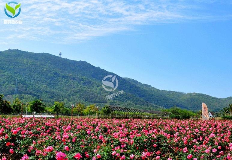 江苏玫瑰种植基地滴灌水肥一体化方案设计